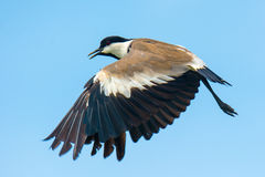 Free Spurr-Winged Plover In Flight Royalty Free Stock Photography - 33293597