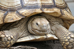 Spurred tortoise Royalty Free Stock Photos