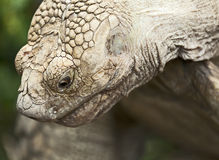 Spurred Tortoise Stock Images