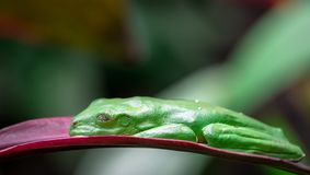Spurrelli de deslizamiento de Agalychnis de la rana arbórea dormido fotos de archivo