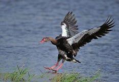 Spurwinged gąski lądowanie Zdjęcie Royalty Free