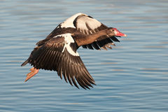 Spurwinged goose in flight. A spurwing oose in flight Royalty Free Stock Photo