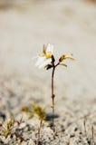 Spustowa roślina (Stylidium sp ) w piasku Obrazy Stock