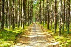 Sputo Forest Path di Curonian Fotografie Stock