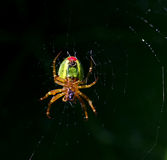 Spyder in focus Royalty Free Stock Photo