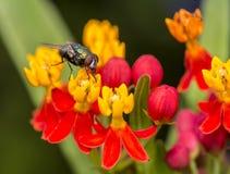 Spyfluga Fotografering för Bildbyråer