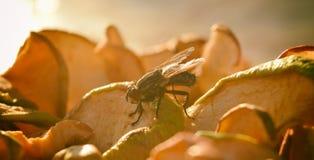 Spyfluga, kadaverfluga, spyflugor, greenbottles eller klungafluga Arkivbild