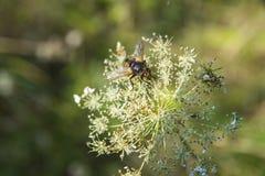 Spyfluga på blommamakrofotoet & x28; nära up& x29; royaltyfria bilder