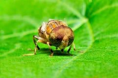 Spyfluga på bladet Fotografering för Bildbyråer