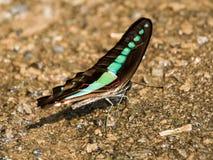 Spyflugafjäril Arkivfoto