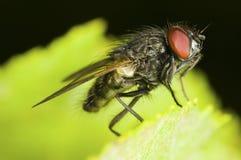 SpyflugaSacrophaga carnaria royaltyfria bilder