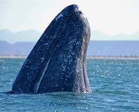 Spyhop. A gray whale spyhops in san Iganacio Lagoon, Baja, Mexico Royalty Free Stock Images