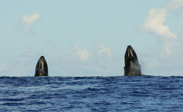 Spyhopping humpback whales Stock Image