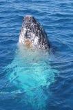 Spyhopping wieloryb Zdjęcia Stock