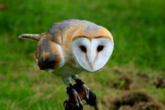 Spying barn owl stock photos