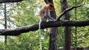 Spying and walking proboscis monkey Stock Image
