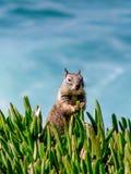Sqirl che mastica sull'erba Fotografia Stock