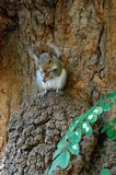Sqirrel eating nut in tree Royalty Free Stock Image
