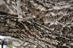 Sqirrel gris Imagenes de archivo
