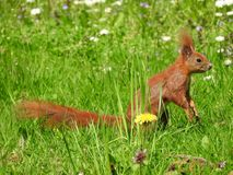 Sqiurrel. Squirrel sitting in the grass stock images