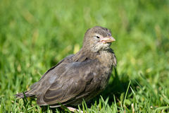Squab Royalty Free Stock Images
