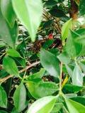 squab Royaltyfria Bilder