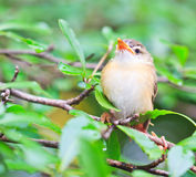 Squab learns to fly. Tailorbird baby is learning to fly like its mom Royalty Free Stock Photo