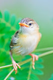 Squab learns to fly. Tailorbird baby is learning to fly like its mom Stock Image