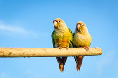Squab Sun Conure Parrot Royalty Free Stock Photo