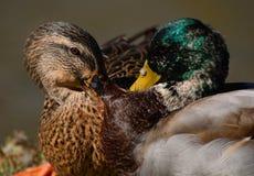 Squabble between Mallard Ducks Stock Image