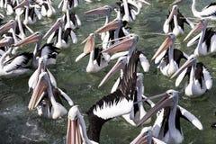 Squabbling пеликаны на побережье в Австралии стоковая фотография