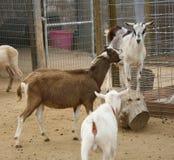 Squabbling Bauernhof-Ziegen Stockbild