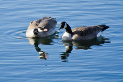 Squabbling Geese Royalty Free Stock Photography