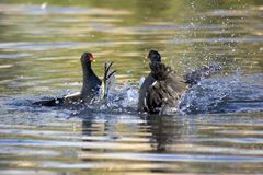 Squabbling Moorhens Stock Photos