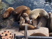 Squabbling Sea Lions Stock Photo