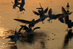 Squabbling Seagulls. Flock of seagulls both in silhouette and backlit by the evening sun glistening off wet mud stock images