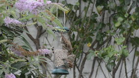 Squabling sparrows at bird feeder. stock footage