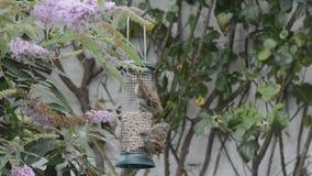 Squabling sparvar på fågelförlagemataren arkivfilmer