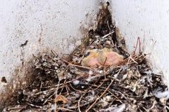 Squabs del piccione Immagine Stock