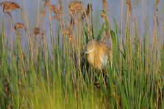 Squacco苍鹭(Ardeola ralloides)。 免版税库存照片