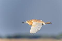 Squacco苍鹭(Ardeola ralloides)在飞行中 免版税库存图片
