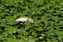 Squacco苍鹭(Ardeola ralloides) 免版税库存照片