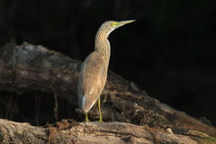 Squacco苍鹭(Ardeola Ralloides) 免版税图库摄影