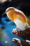 squacco ερωδιών Στοκ Εικόνα