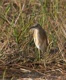 squacco цапли травы высокорослое Стоковые Изображения RF