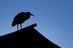 squacco цапли Стоковая Фотография RF