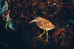 Squacco Ardeola Czapli ralloides w Danube delcie, Rumunia Fotografia Stock