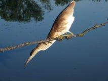 Squacco (Ardeola ralloides) Στοκ φωτογραφία με δικαίωμα ελεύθερης χρήσης