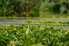 Squacco czapla i bogactwo roślinność Fotografia Stock
