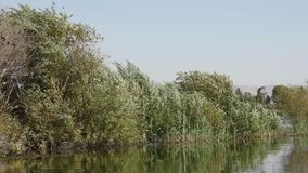 Squacco czapla umieszczająca na trawy płosze zdjęcie wideo